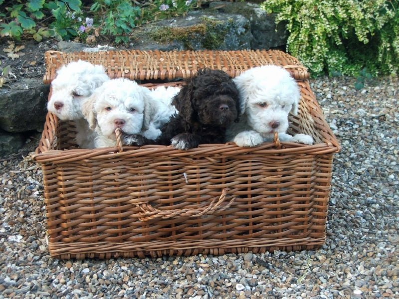 HISTORY OF THE LAGOTTO IN THE UK puppies in wicker basket