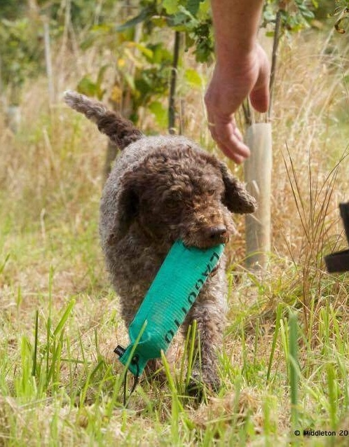 GUNDOG Flora with Lagotto dummy coming towards