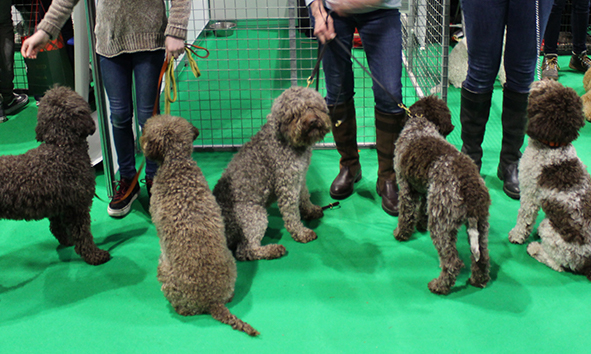 puppieslink_meetourlagotto